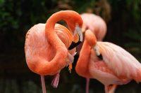 american-flamingo-phoenicopterus-ruber-bird