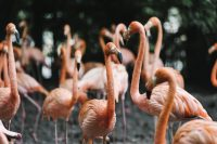 A group of flamingo gathered around